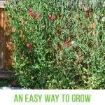 An Easy Way to Grow Sweet Peas
