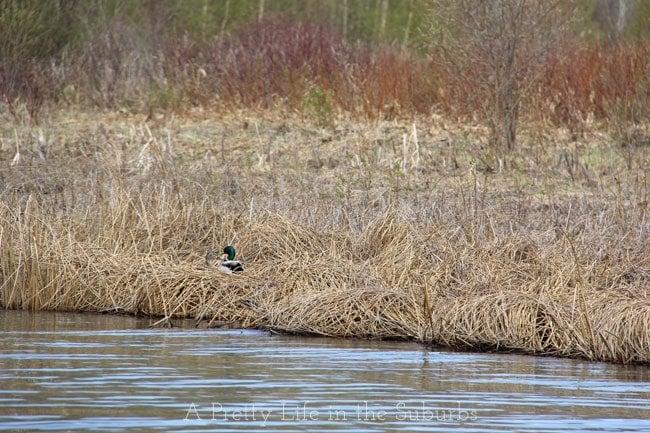 Mallards-Nesting-{A-Pretty-Life}