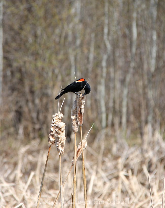 Red-Winged-Blackbird-2{A-Pretty-Life}