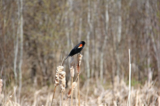 Red-Winged-Blackbird-{A-Pretty-Life}