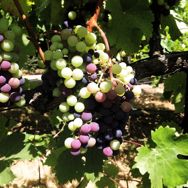 Grapes in veraison