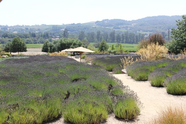 Lavender Fields at Matanzas Creek Winery 2