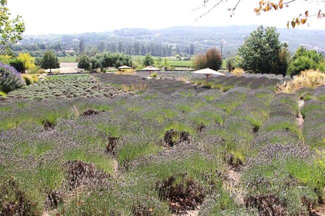 Lavender Fields at Matanzas Creek Winery