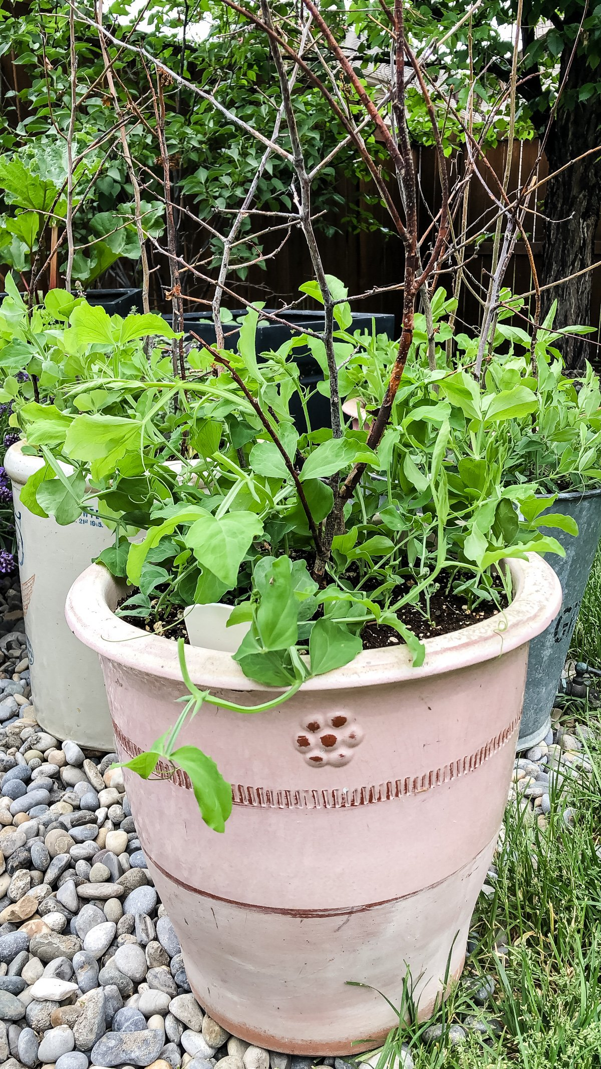 How to Grow Sweet Peas in Pots