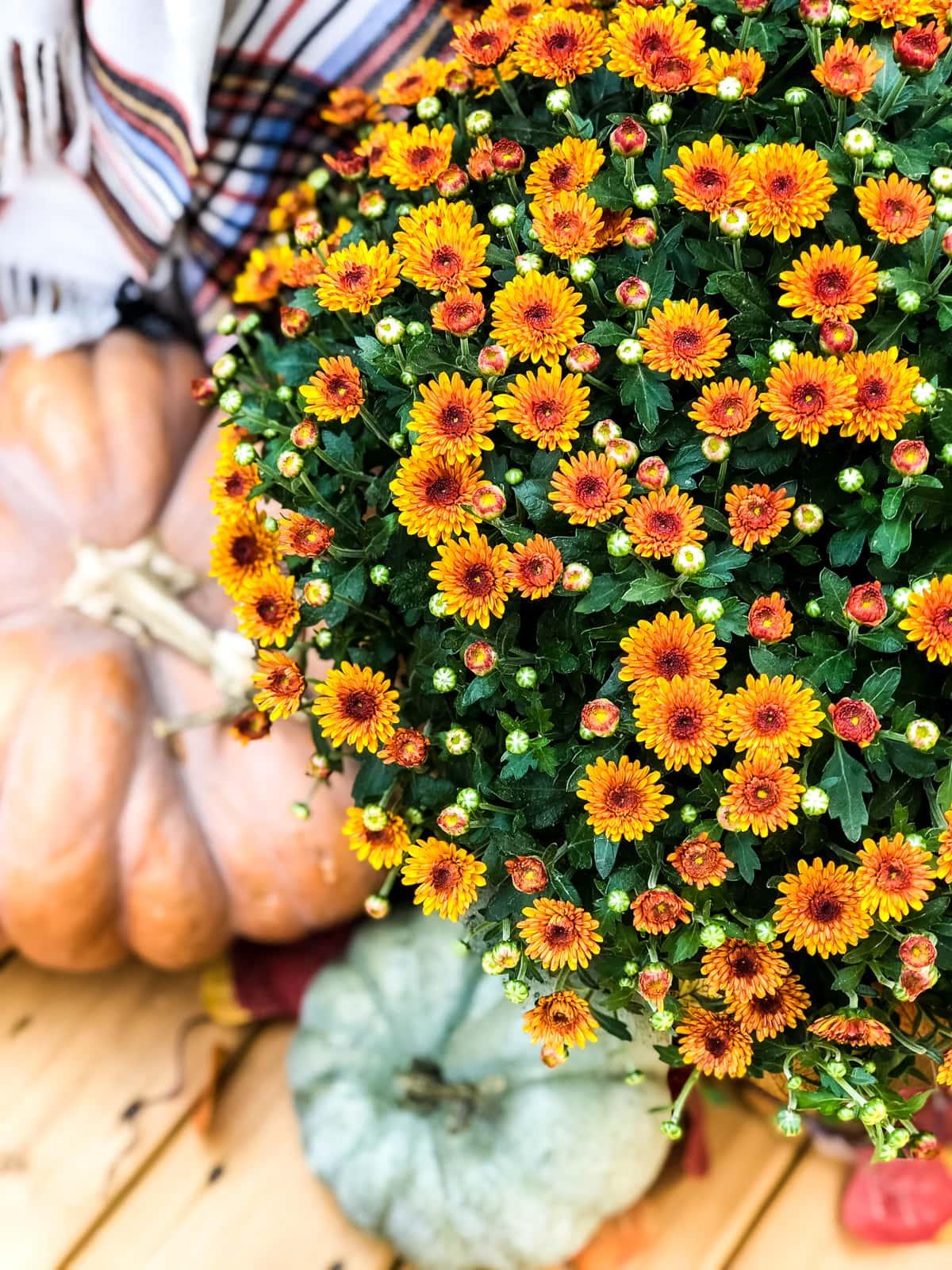 A top down view of an orange mum and pumpkins
