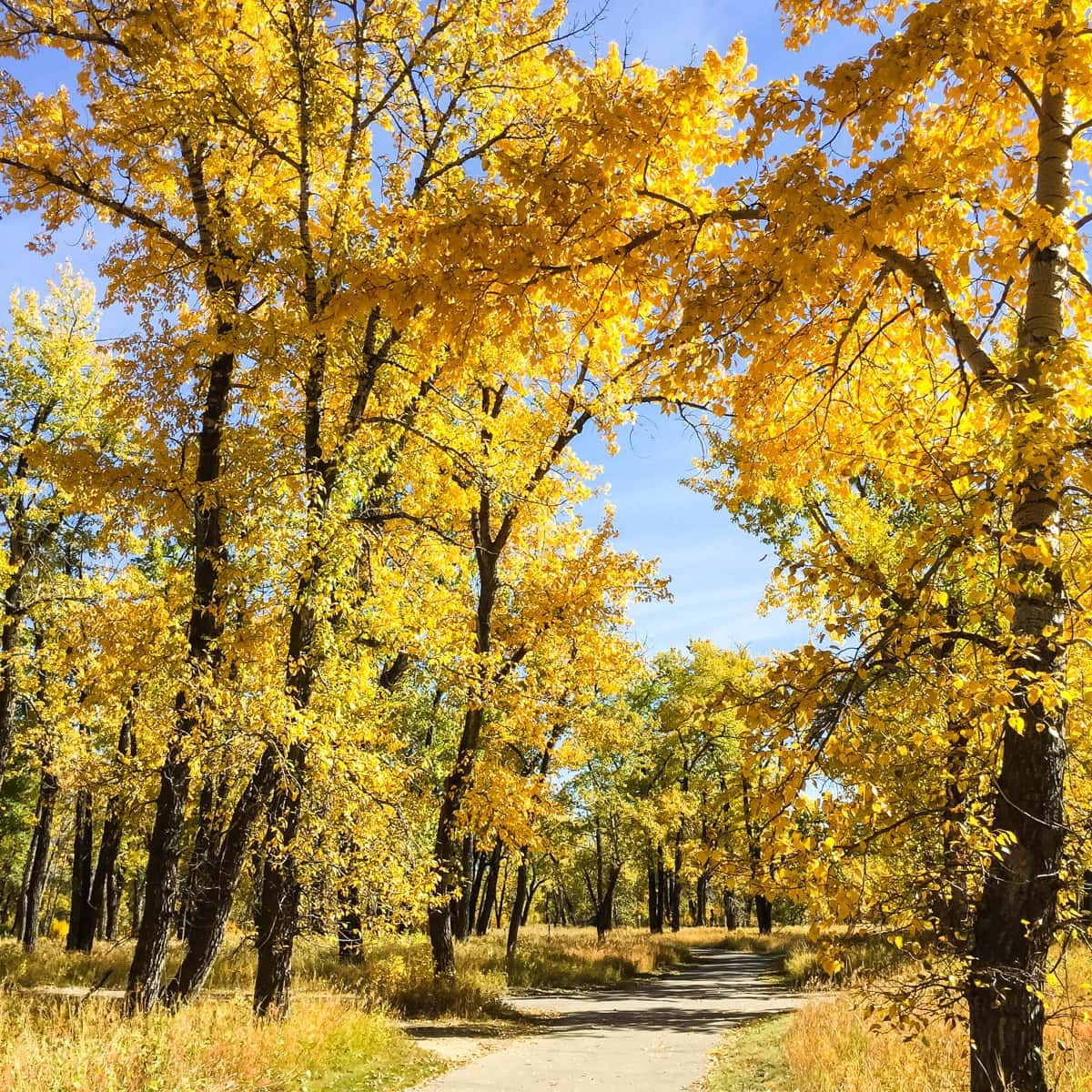 A path of yellow fall trees