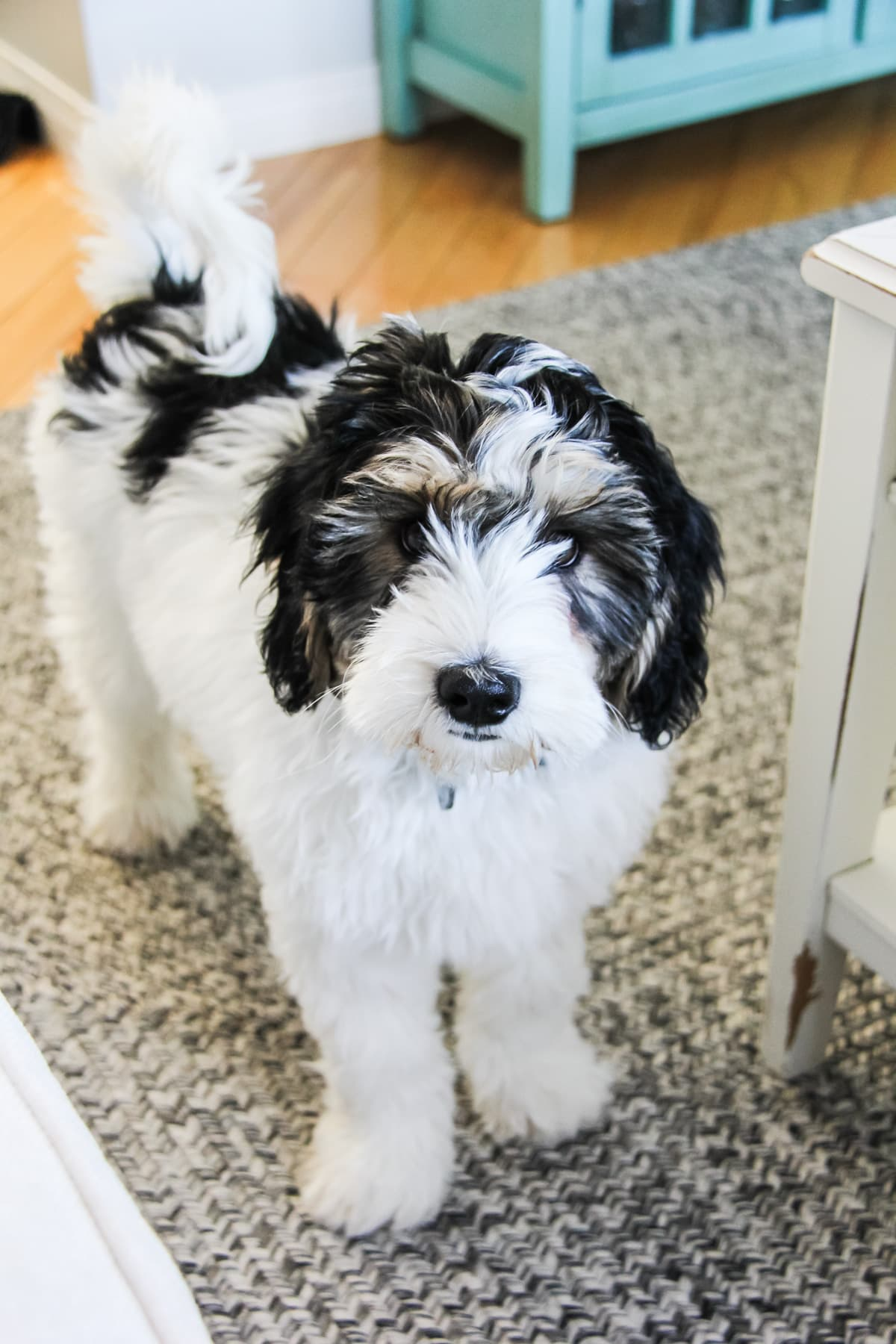 a black and white fluffy puppy