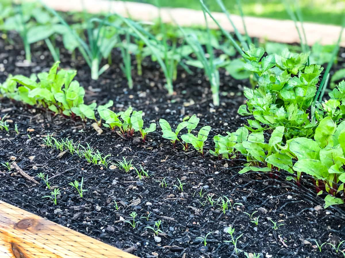 a side view of a raised garden with young vegetable seedlings