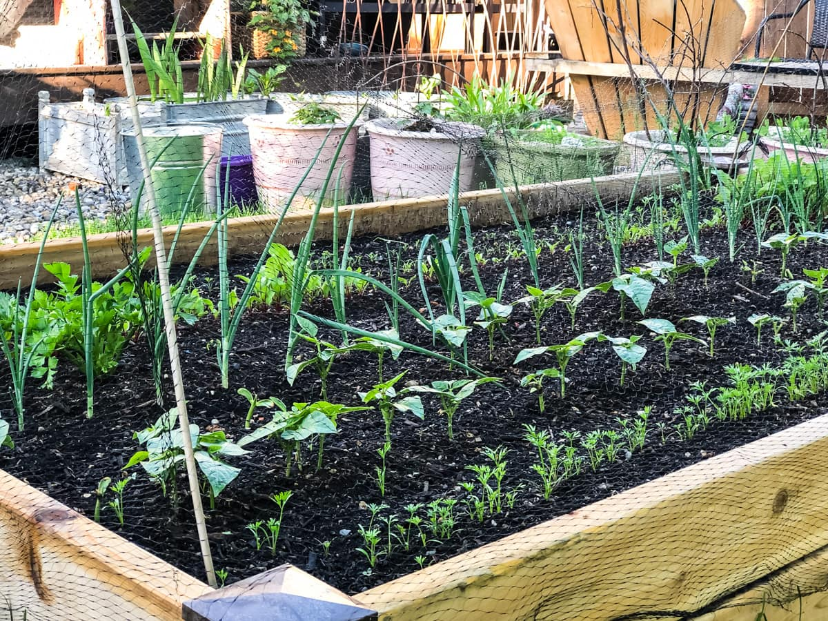 a side view of a raised garden bed with vegetable seedlings