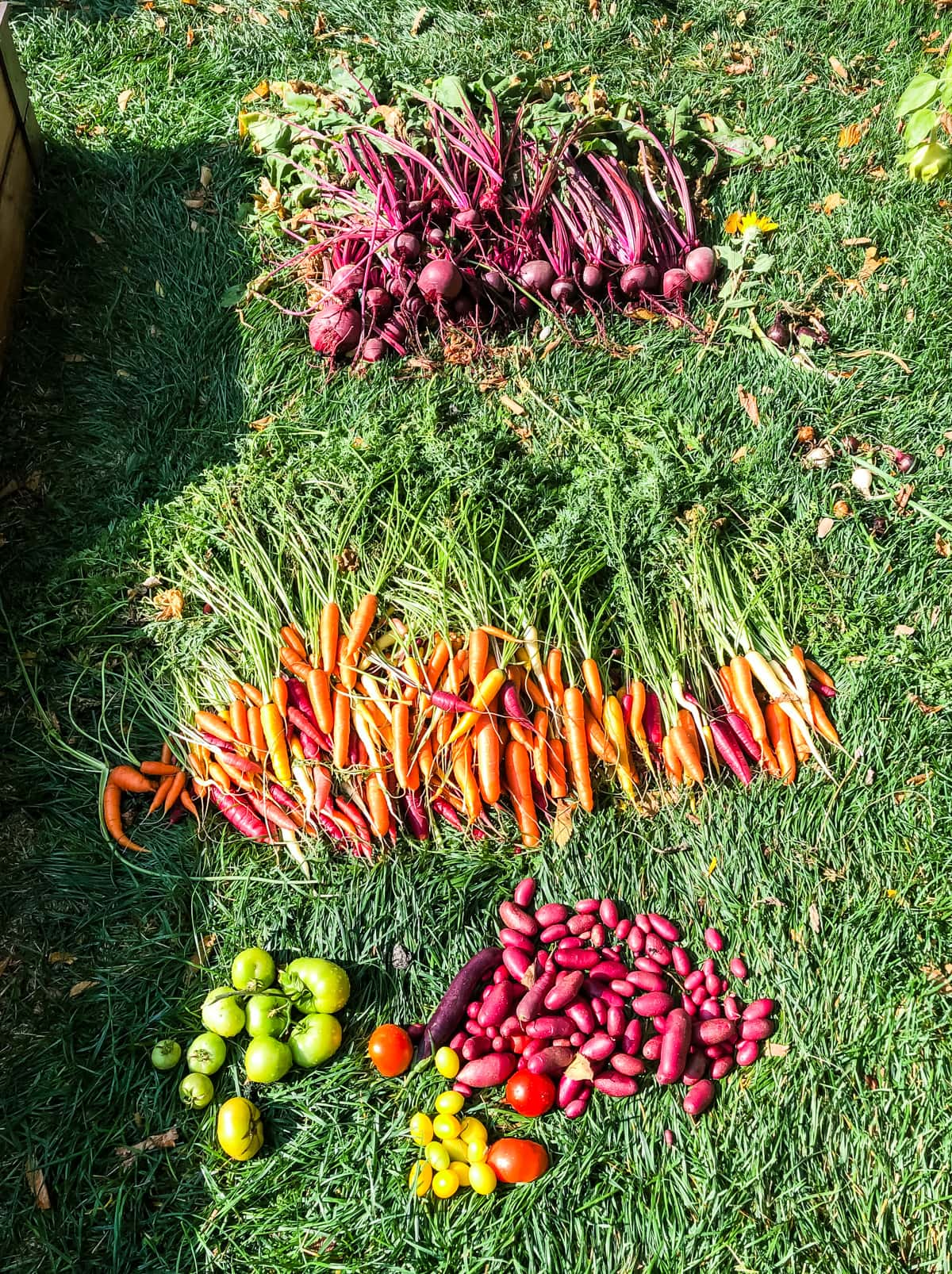 fresh picked carrots, beets, onions and potatoes laying on grass