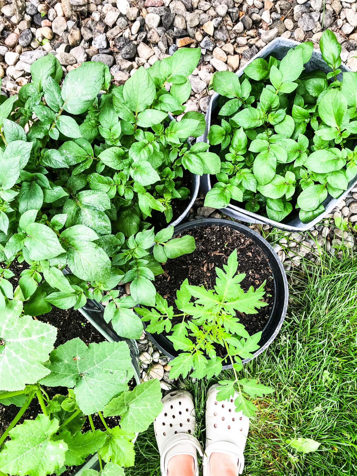 a top down view of three pots of potato plants and one tomato pot