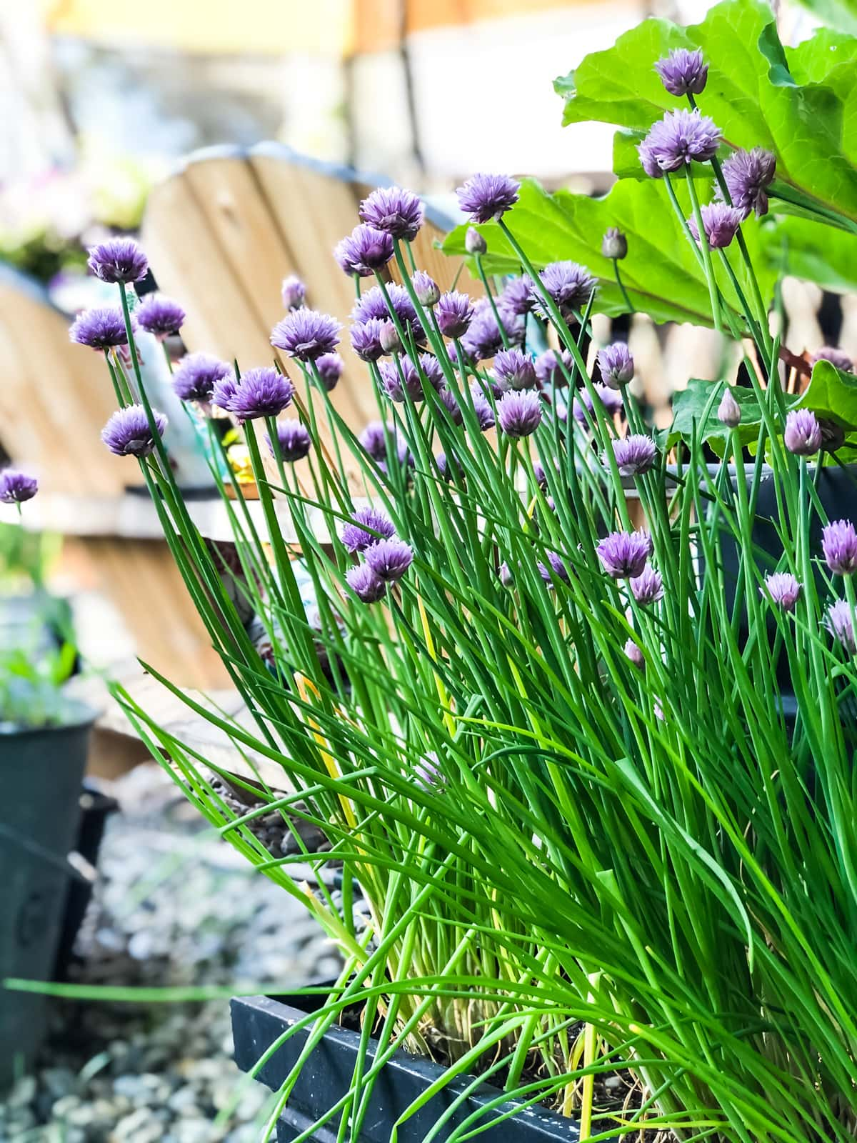 a pot full of chives with purple blossoms