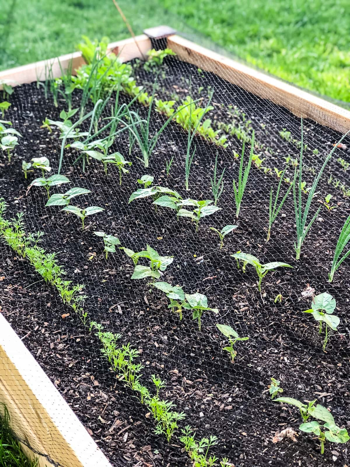 a small urban vegetable garden filled with young vegetable seedlings