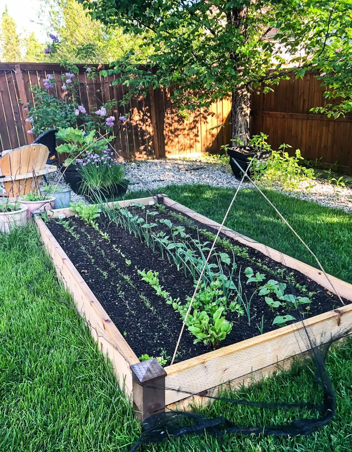 a small urban vegetable garden filled with young seedlings. in the background are more pots of vegetables and trees