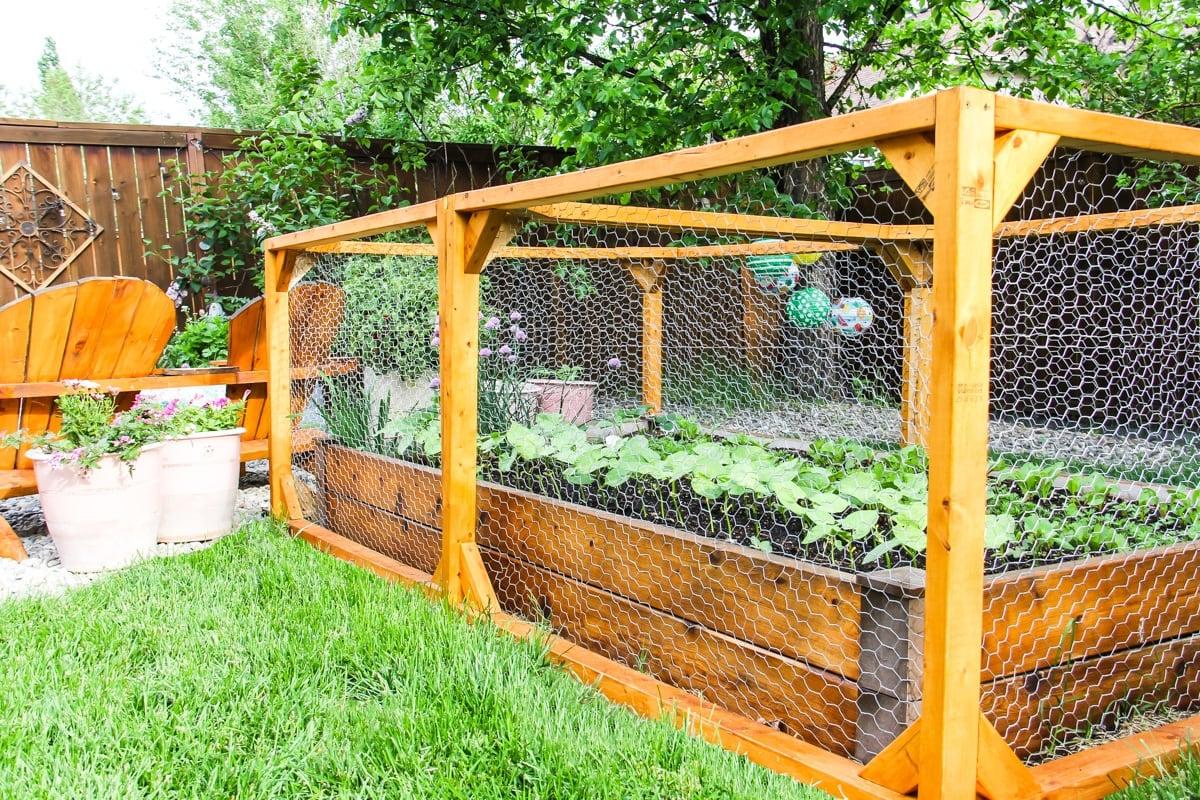 A raised Urban Vegetable Garden in a wire enclosure.