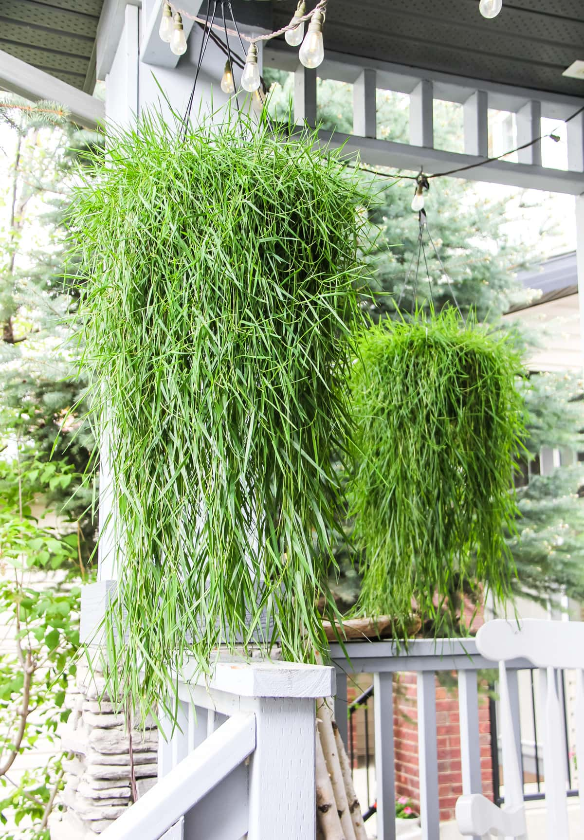 two hanging baskets of green grass