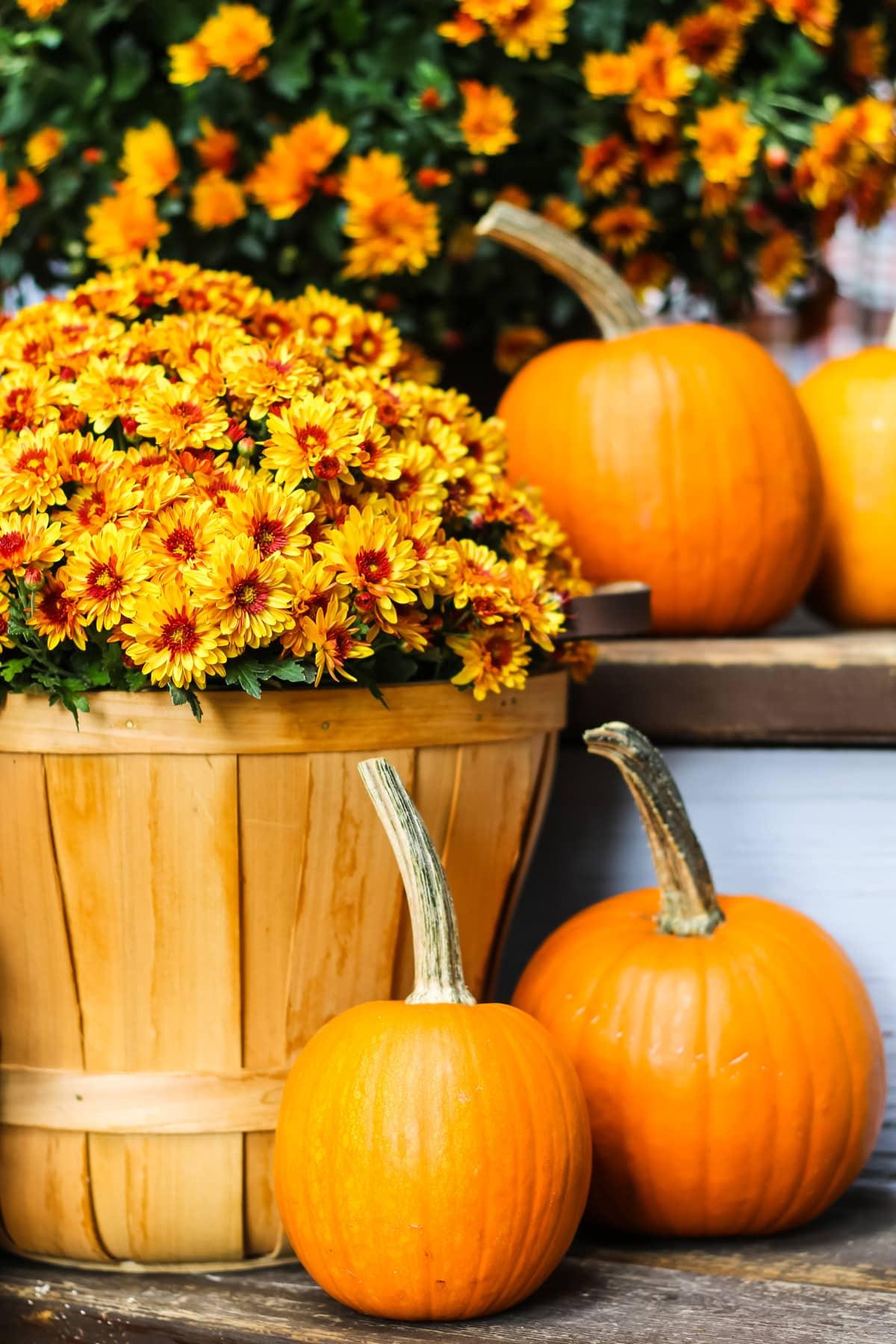 a close up of three mini orange pumpkins amongst gold mums in apple baskets