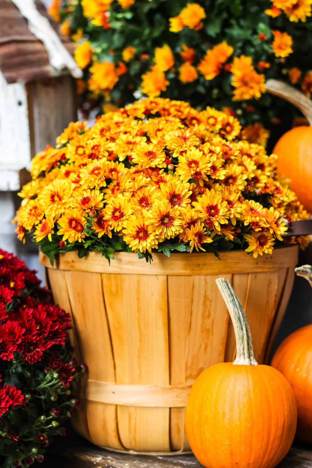 an orange chrysanthemum sitting in an apple bucket. next to it sit mini orange pumpkins